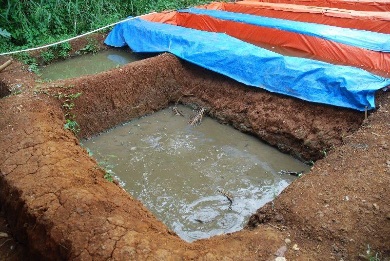 ternak lele sangkuriang kolam tanah