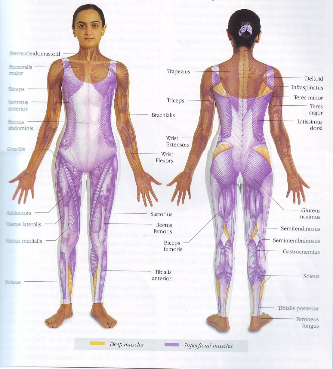 relationship between muscles bones and tendons