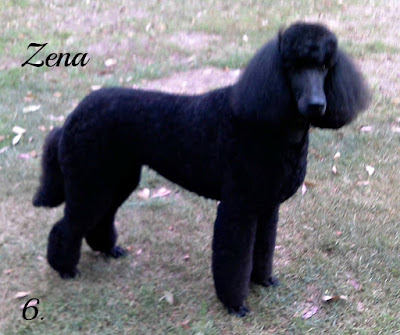 medium clip on black poodle