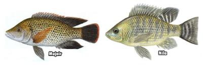 ikan nila jantan dan ikan nila betina