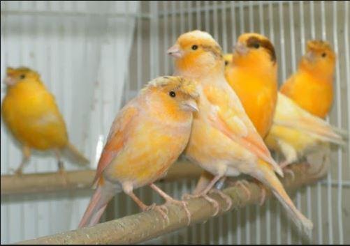 Cara Merawat Burung Kenari Bakalan Supaya Rajin Berkicau