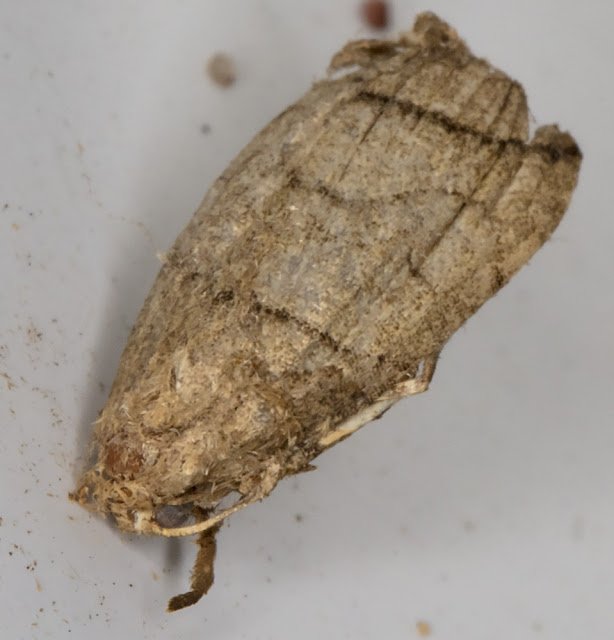 Remains of Small Fan-foot, Herminia grisealis. On the wall near my garden light trap in Crowborough.