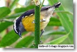 Bananaquit (Coereba flaveola) perching bird
