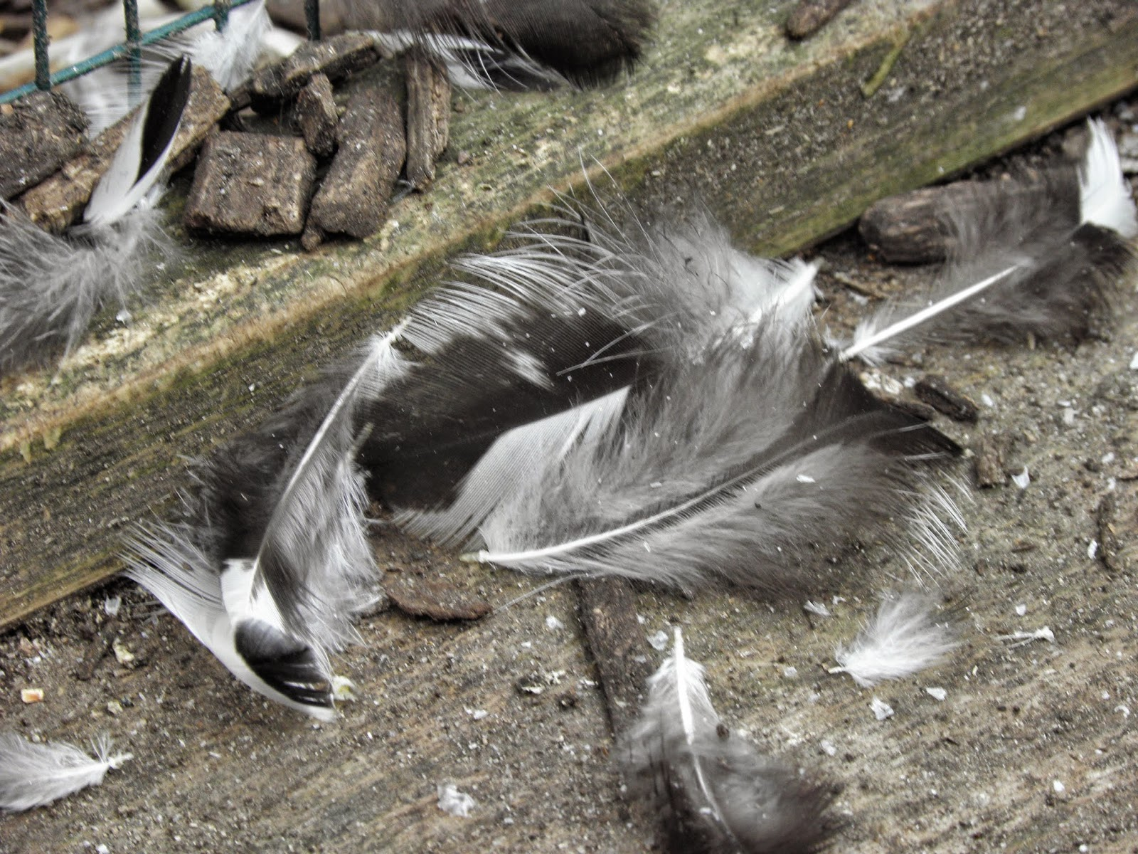Annual Moult in Poultry