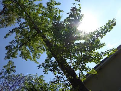 小楠公御墓所 イチョウの木