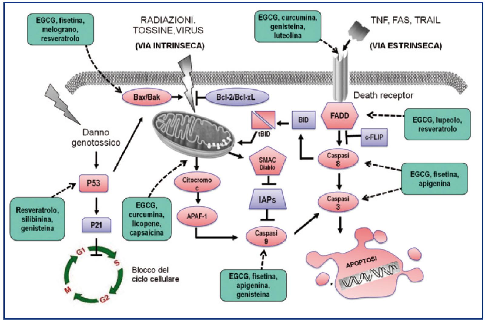 figura 4 schema delle principali vie che portano alla apoptosi e punti di azione di alcune sostanze naturali