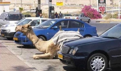 dumabi-camel-parking-on-road