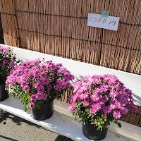 ひらかた菊花展 (枚方市役所周辺) 菊の販売 1500円