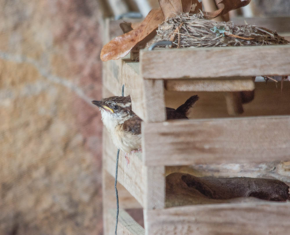 Carolina wren fledgling in egg basket