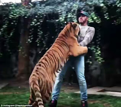 Lewis Hamilton celebrates race win by frolicking with a big tiger in Mexico
