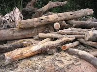 切り残しの大木