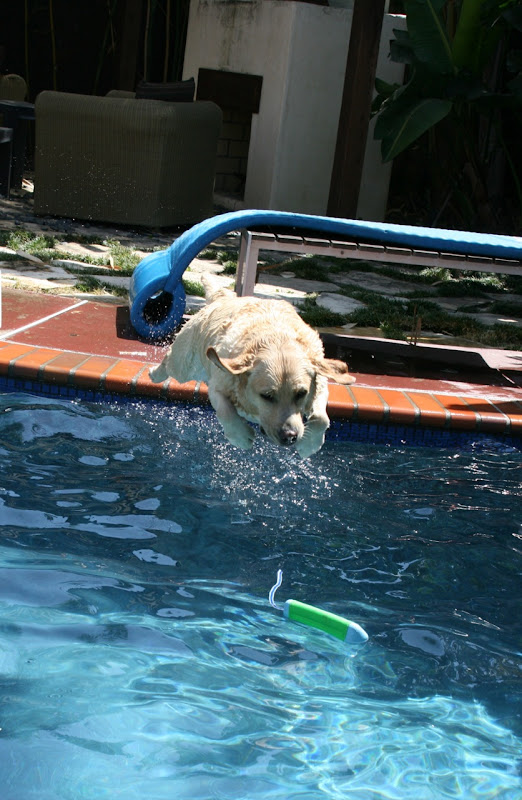 English Labrador pool diving