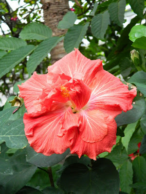 Allan Gardens Conservatory Christmas Flower Show 2015 red tropical hibiscus by garden muses-not another Toronto gardening blog