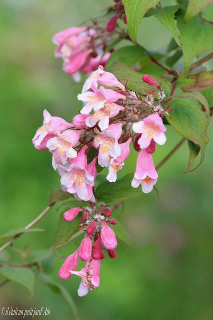buisson de beauté