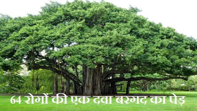 64 रोगों की एक दवा बरगद का पेड़,