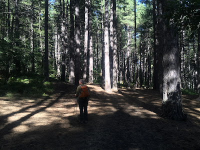 Start of the hike under large pine trees