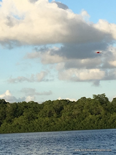 single Scarlet Ibis heading to roosting trees at Caroni Swamp & Bird Sanctuary in Trinidad