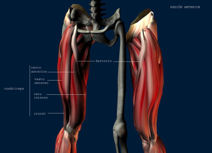 NO SOLO ENTRENAMIENTO: ¿Sabes cual es el musculo mas grande del cuerpo?