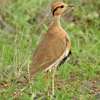 Temminck´s courser