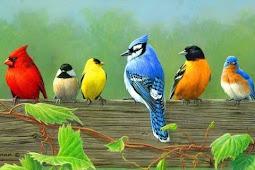 Mengatasi Masalah Burung Ngeriwik Tidak Mau Ngeplong