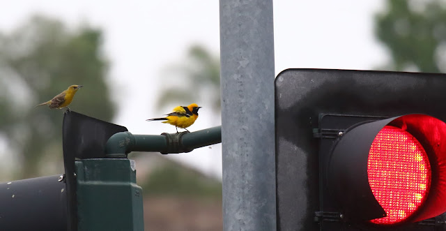 Hooded Oriole at a stoplight