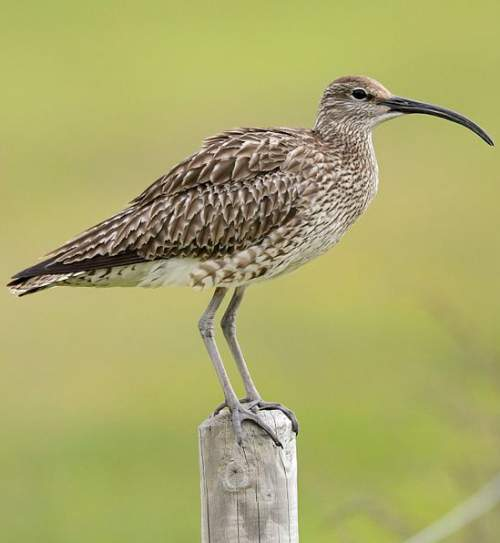 Birds of India - Photo of Whimbrel - Numenius phaeopus