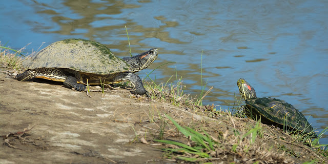 Red-Eared Sliders, Colleyville Nature Center
