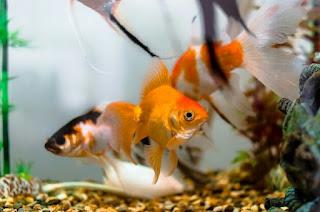 Jenis Ikan Hias untuk Aquarium Mini