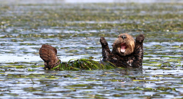 "Highly Commended Wildlife Comedy Photo Competition by Penny Palmer dengan judul ""Cheering Sea-Otter"""