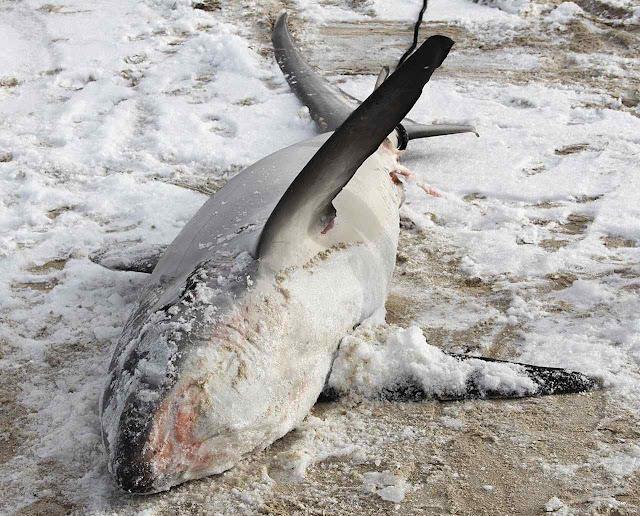 Tubarões morreram de choque térmico na água e congelaram na praia.