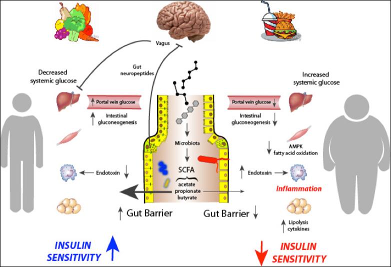 Gut microbiota metabolism of dietary fiber influences allergic airway disease and hematopoiesis