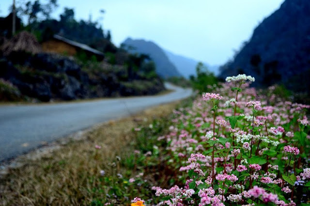 Impressive with buckwheat flower in Ha Giang stone plateau 1