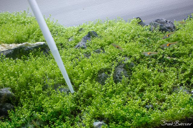 藍藻 対策