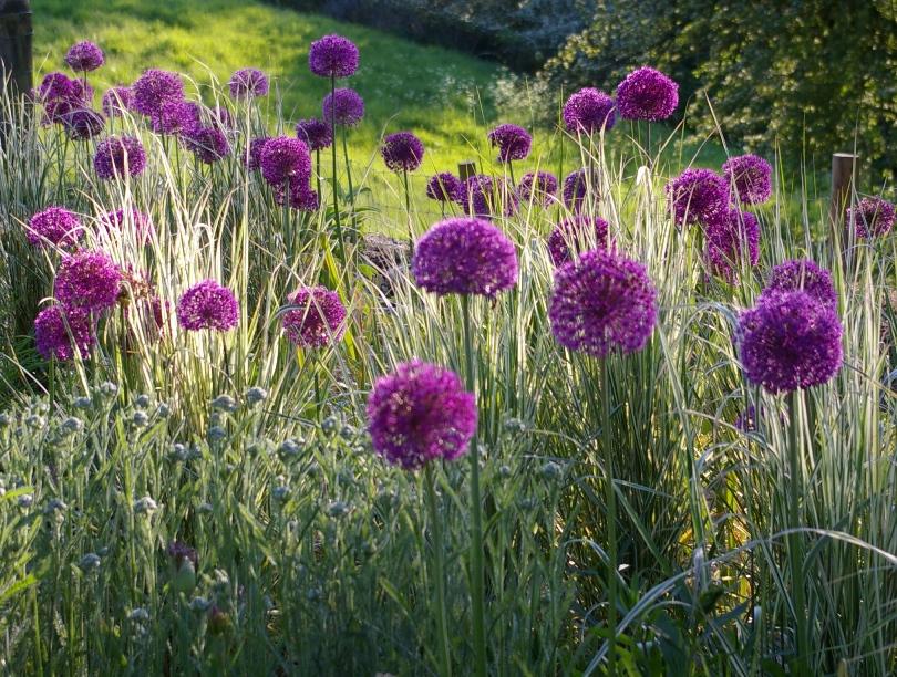 john grimshaw 39 s garden diary allium 39 purple sensation 39. Black Bedroom Furniture Sets. Home Design Ideas
