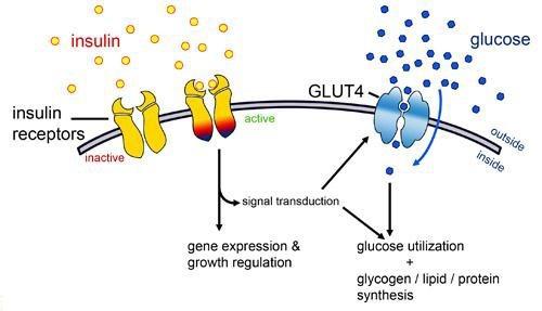 sekresi hormon insulin