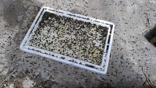 Cara Membuat Racun Lalat Ampuh dengan mudah