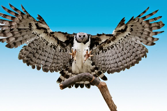 Águila arpía en vuelo