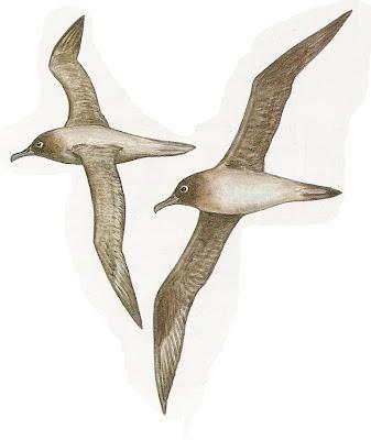 Albatros manto claro Phoebetria palpebrata