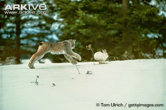 Lynx and Hare