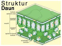 Pengertian dan Struktur Daun