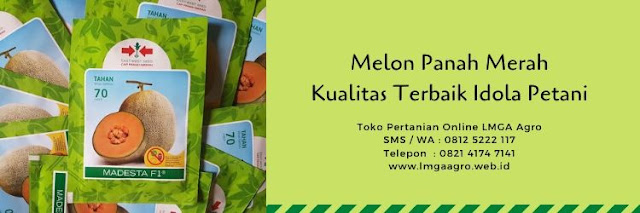 benih melon,buah melon,cap panah merah,budidaya melon,tanaman melon,lmga agro