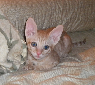 Red Tabby Cornish Rex kitten