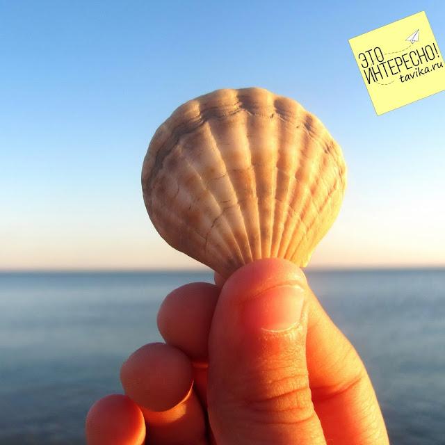 Черноморский морской  гребешок