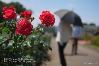 赤い薔薇と人影の写真