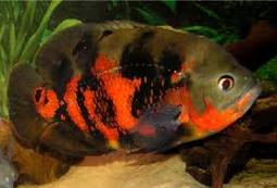 Jenis Ikan Hias Oscar Dan Harganya Di Pasaran