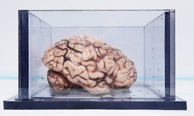 أشهر دماغ بشري