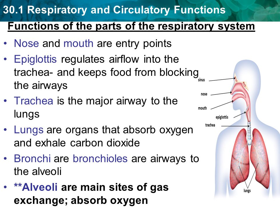 RESPIRATORY SYSTEM. English by pablo gomez - Issuu |Respiratory System Organs And Functions