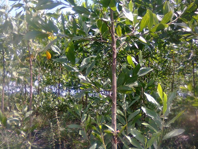 Hormon ABA untuk pengguguran daun pada tanaman