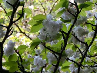 安国論寺妙法桜