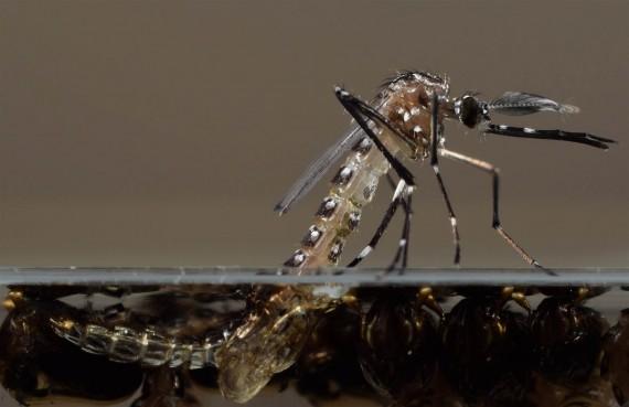 Virus Zika Dan Kontroversial Nyamuk Rekayasa Genetik